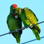 Red crown parrots